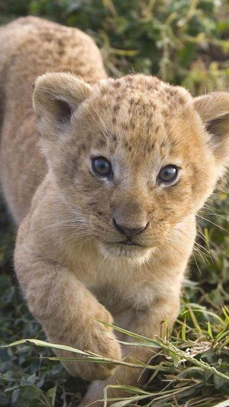 1b663cb8dc73bb55e8c1cdcdd35d3eba--baby-lions-baby-cubs.jpg