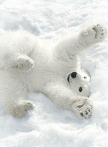 1c841d883dfa47ced58830a51cf3e36e--arctic-animals-baby-animals.jpg