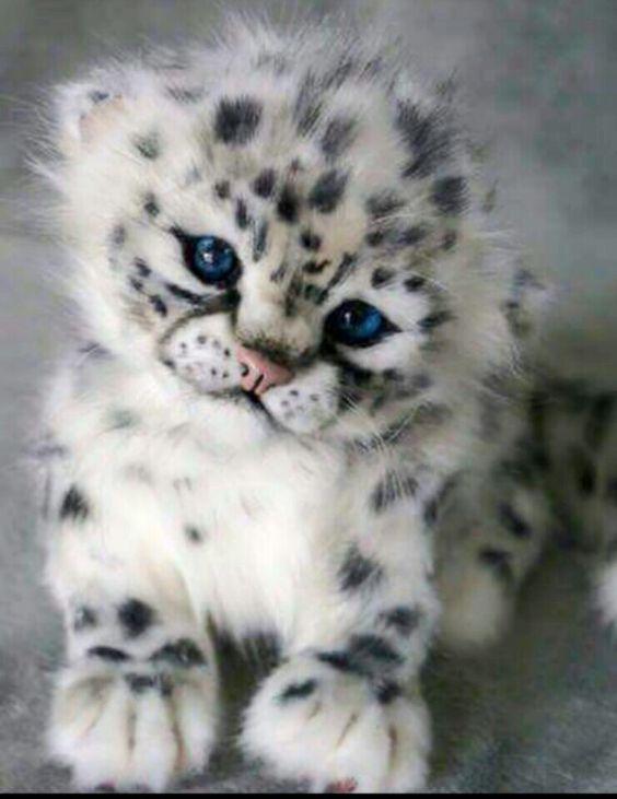 4e596684aad91b586f7a2f8c1527ba92--snow-leopard-cub-leopard-animal.jpg