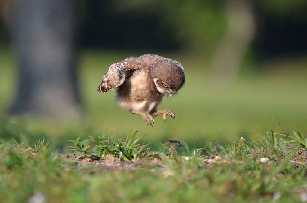 owl-chick.jpg