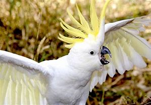 cockatoo melt down.png