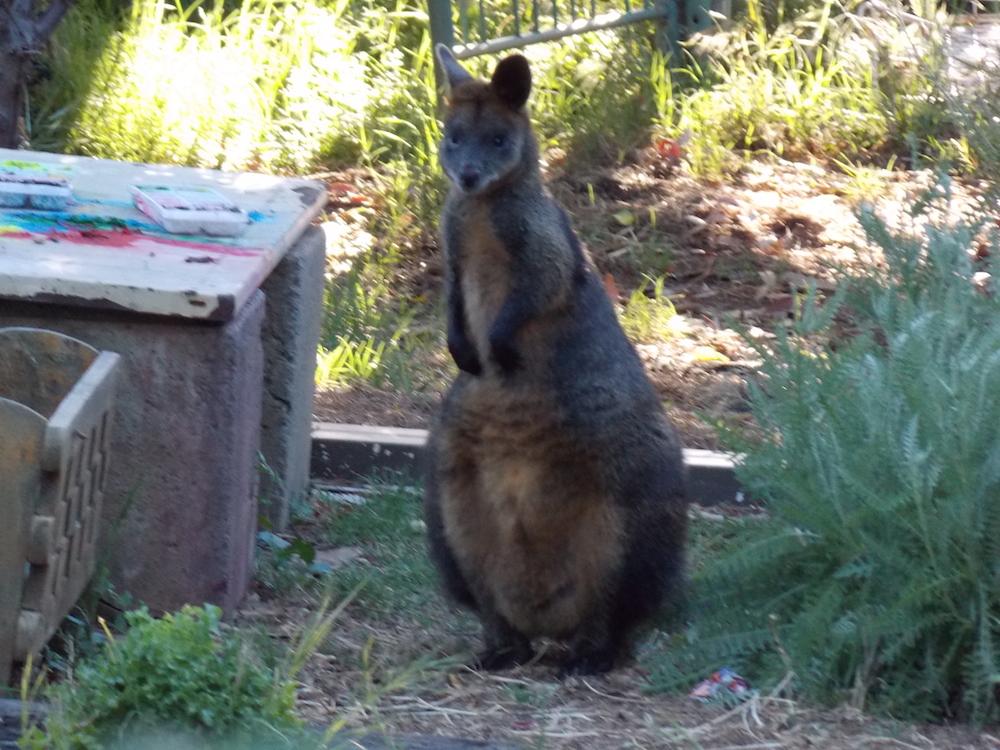 female wallaby.JPG